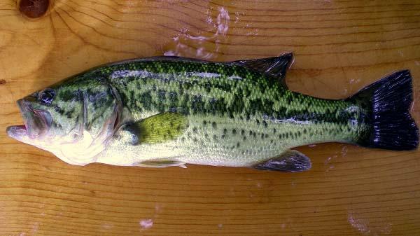 Lake chautauqua bass grab for Fishing reel ringtone