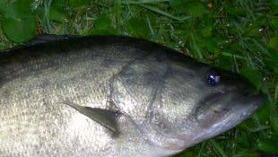 Largemouth Bass Jaw Past Eye