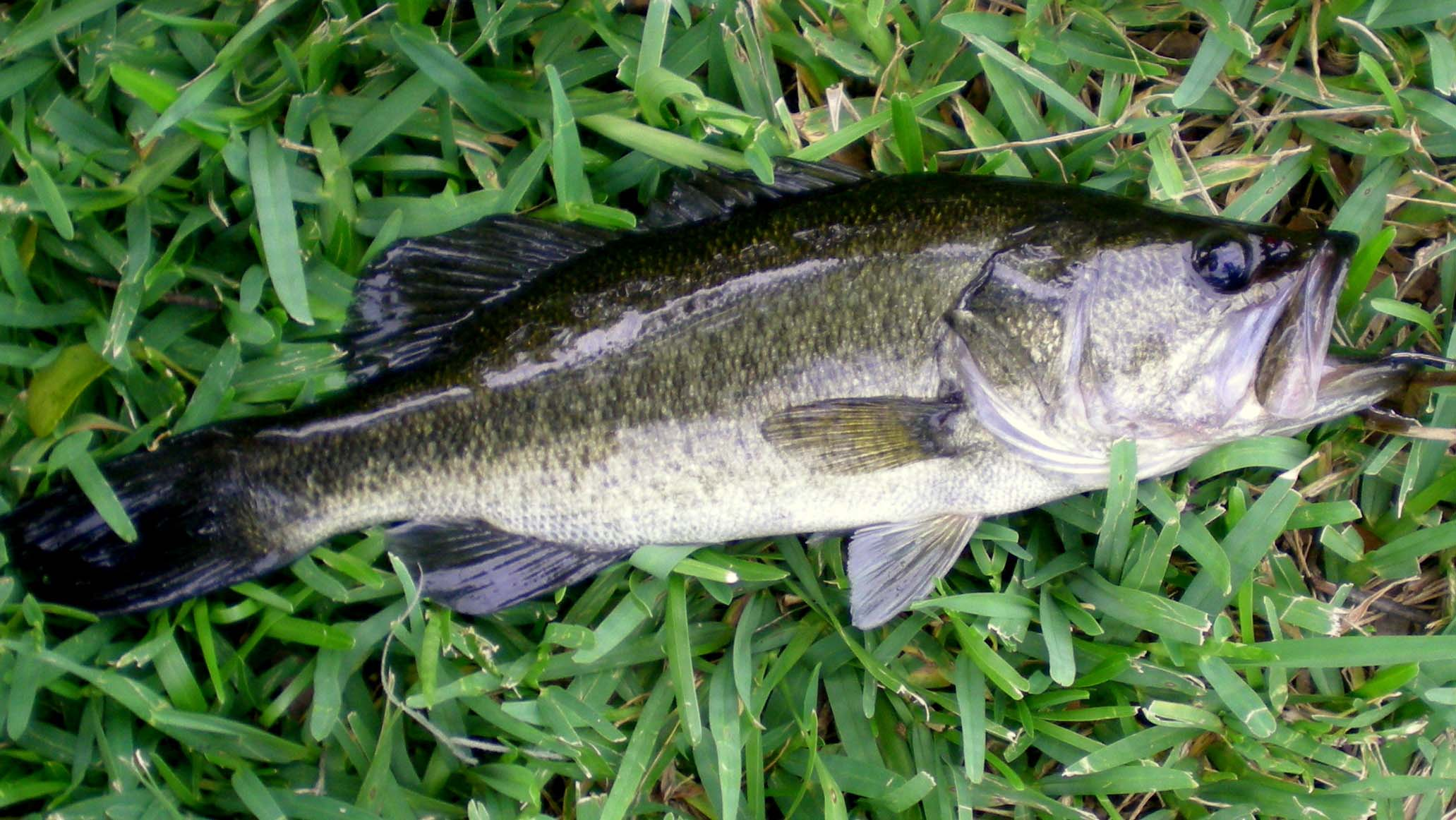 Differences Between Largemouth Bass and Spotted Bass « Bass Grab