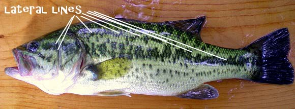 Bass Lateral Line