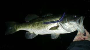 Night Fishing Dark Worm