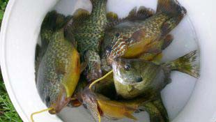 panfish-catch