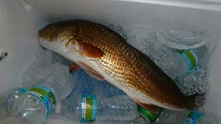 redfish-on-ice