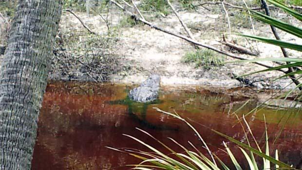 Thick Gator Sunning