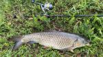 grass carp from a pond